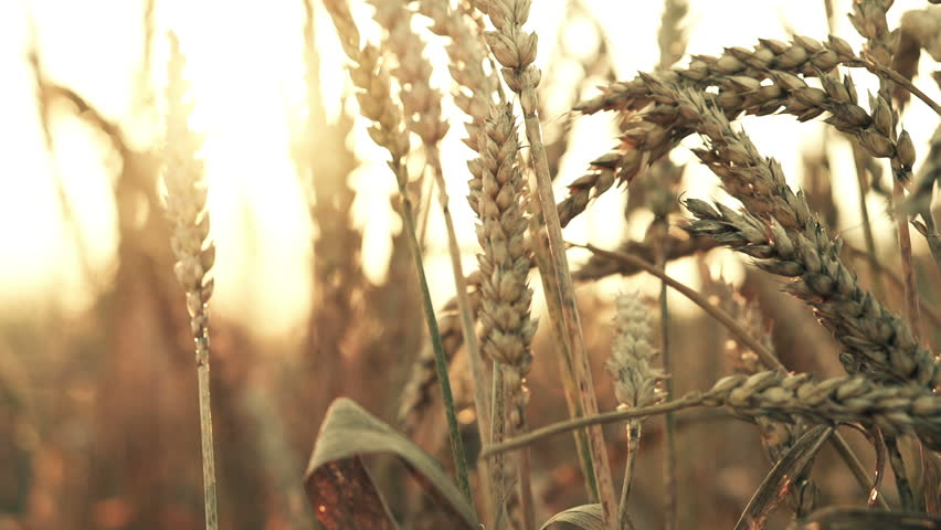 Wheat spikes at sunset, super slow motion, 240fps  - HD stock footage clip