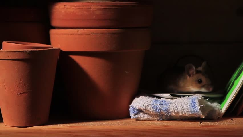 Yellow-necked mouse in a shelf | Shutterstock HD Video #7008784