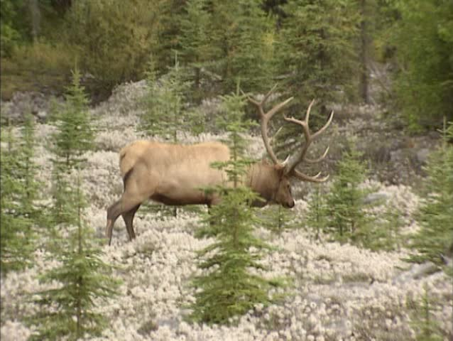 Bull Elk Fighting During The Rut Stock Footage Video ...