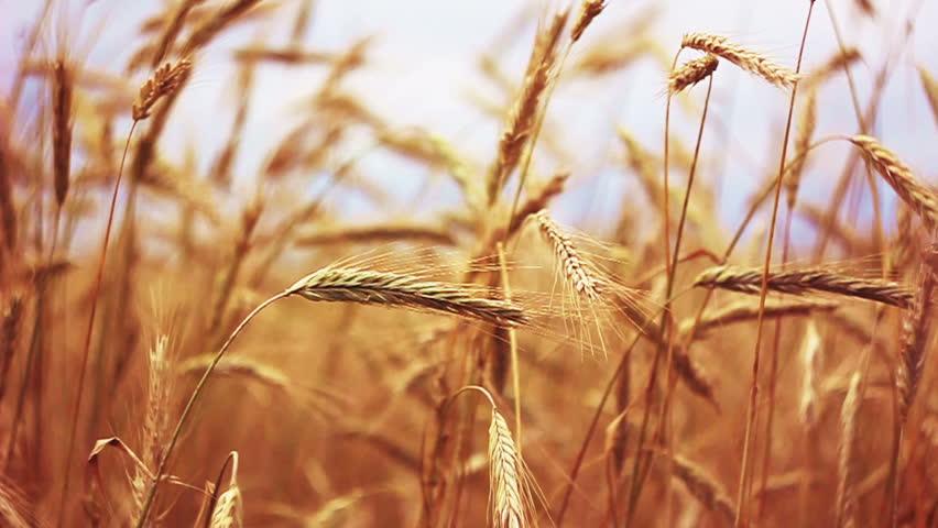 Yellow Wheat Ears Field Background. Rich Harvest Wheat Field, Fresh Crop Of Wheat Ears. - HD stock footage clip