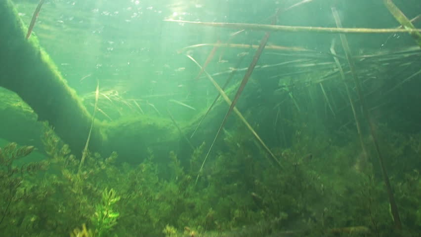 Dynamic dolly underwater scene diving in shallow pond with for Underwater pond plants
