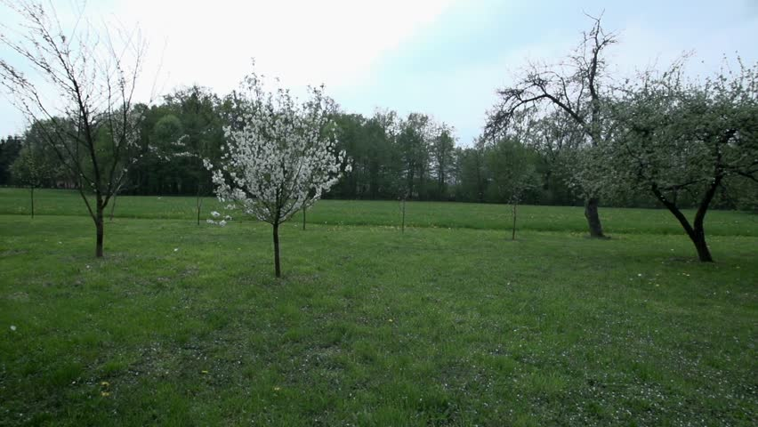 Orchard full of spring blossoming trees and apple tree petals flying in the wind. - HD stock footage clip