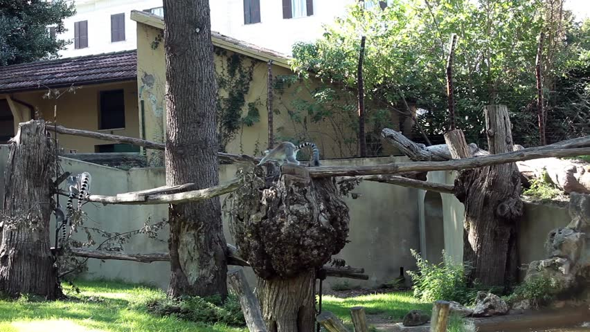 Video clip of ring-tailed lemurs (Lemur Catta) playing.