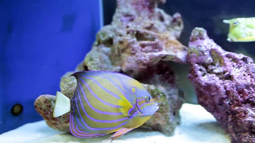 Fish tank with Annularis Angelfish (Pomacanthus annularis) and Longhorn Cowfish (Lactoria Cornuta).