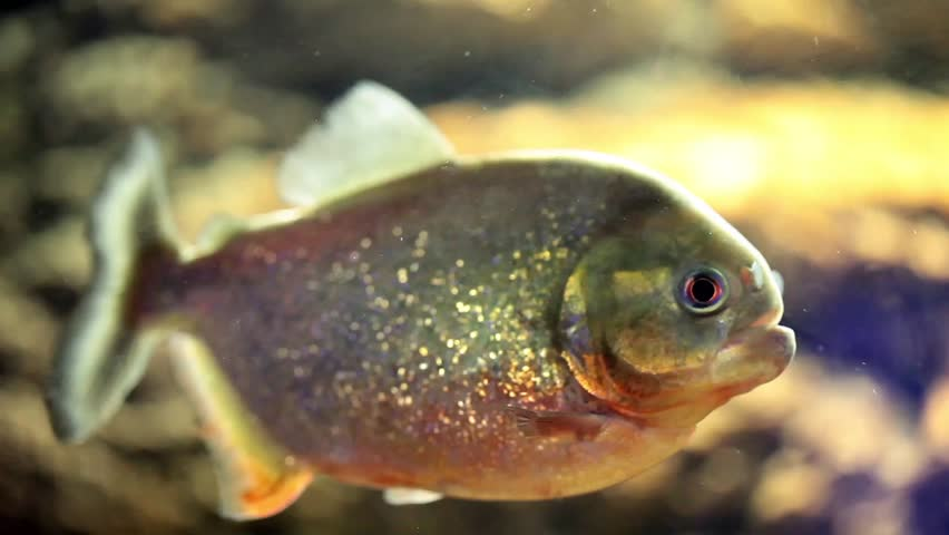 Video clip of piranha fish.