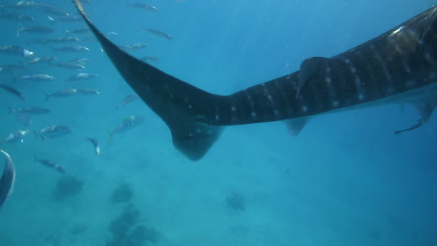 Whale shark underwater closeup of tail and reef fish for Shark tail fish