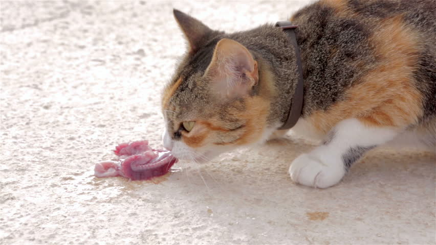 Cat with brown, black, gray and white hair eating raw fish meat on the ground - HD stock footage clip