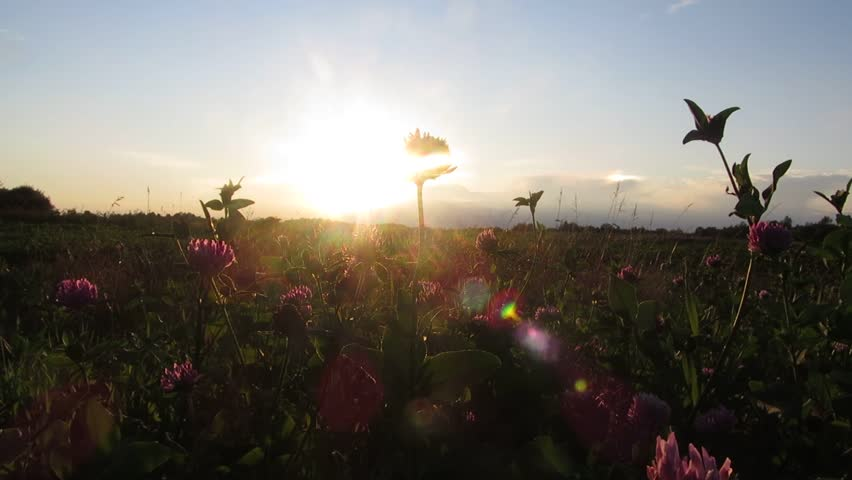 Rural scene of clover field at dawn