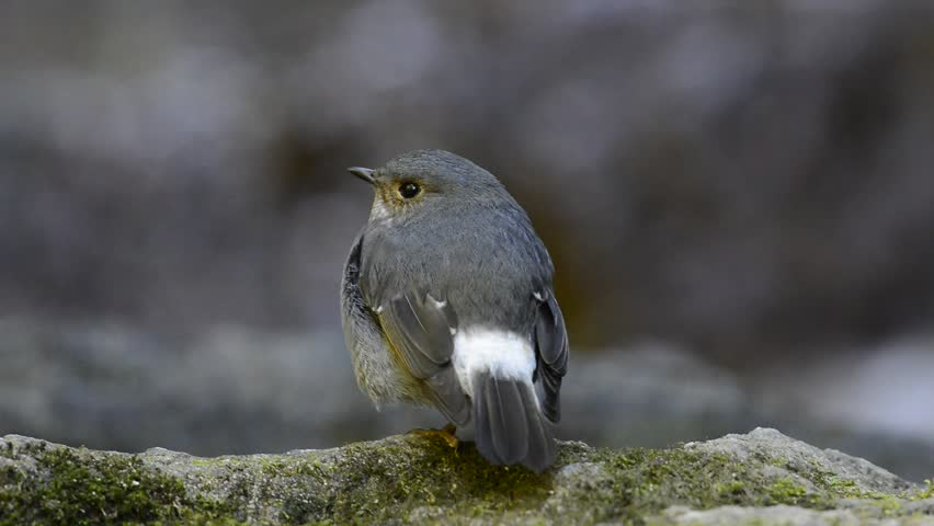 Female of Plumbeous Water Redstart standing on the rock in the stream - HD stock video clip