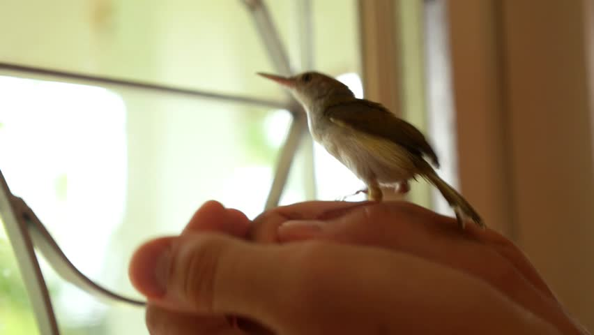 Common Tailorbird or Orthotomus atrogularis in Hands. HD, 1920x1080. | Shutterstock HD Video #7206181