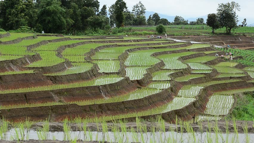 farmers working plant rice in terrace farm land and