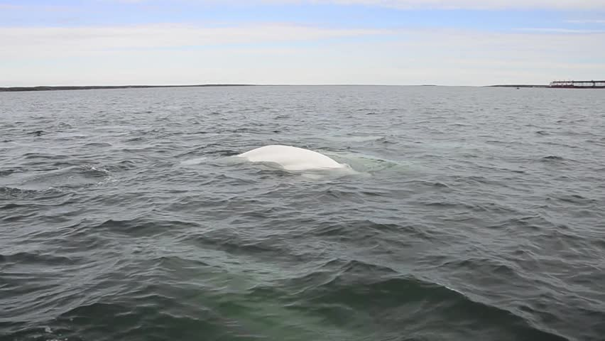 Canada, Manitoba, Churchill. Churchill River Estuary, wild beluga whales (Delphinapterus leucas).