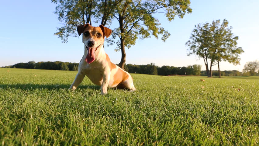 Agitated young healthy active dog runs on a green field with trees. Funny Jack Russell Terrier best dog! - HD stock footage clip