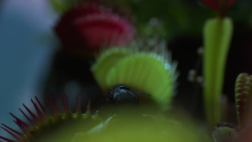 Fly flying away from a Venus Flytrap - HD stock video clip