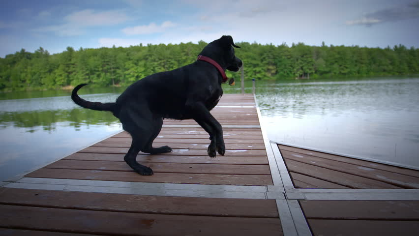 Black lab running down dock and jumping off into pond in slow motion with a big splash