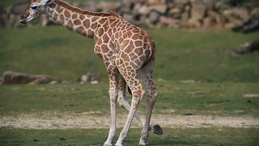 giraffe - HD stock video clip