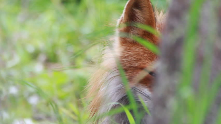 Red fox close up | Shutterstock HD Video #7411741