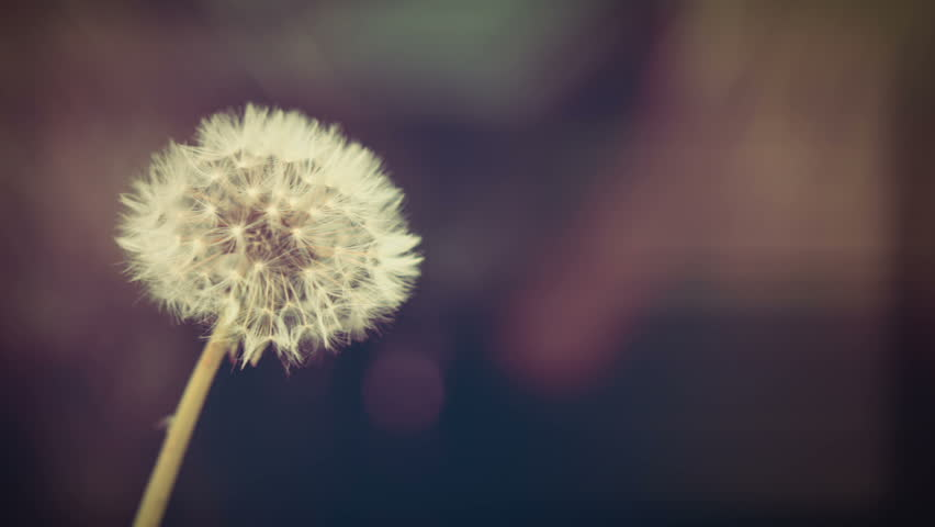 Close up shot of a Dandelion flower head Stock Footage.