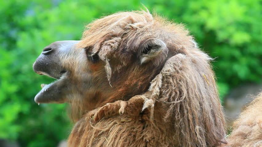 Camel cart Footage