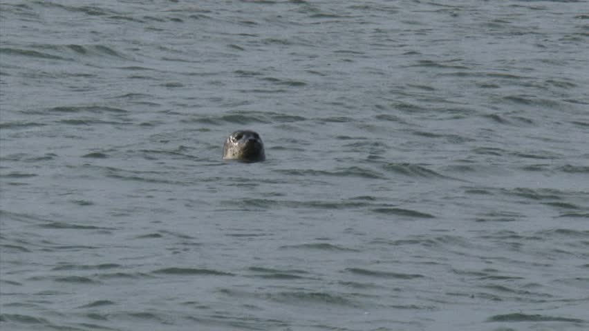 Common Seal (Phoca vitulina or harbor seal), head above water, curiously watch humans on the beach.
