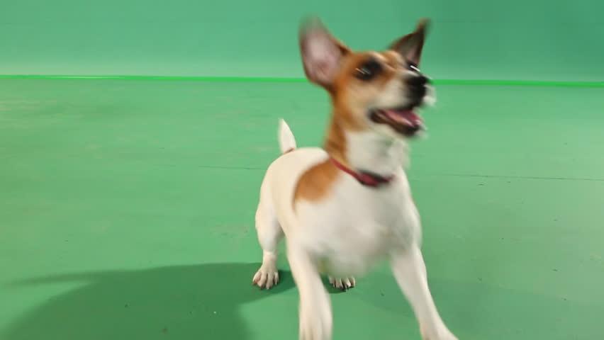 Young active dog gamble jumping. green Screen