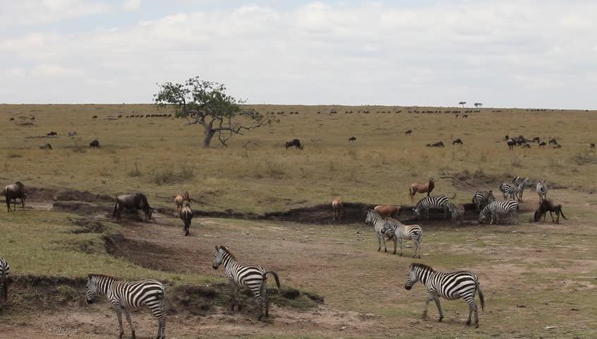 Summer migration of Zebras in the Masai Mara park. Masai Mara. Kenya. - HD stock footage clip