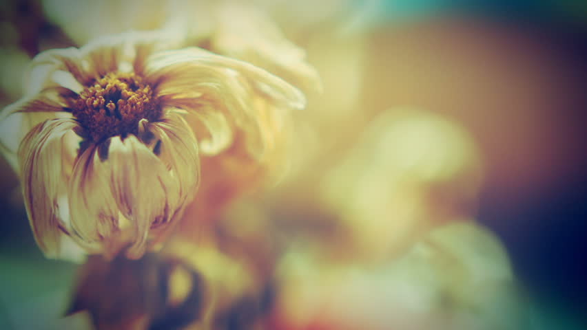Dead Flower Close Up HD Stock Footage. A dolly shot of a dead flower head with an Instagram effect.