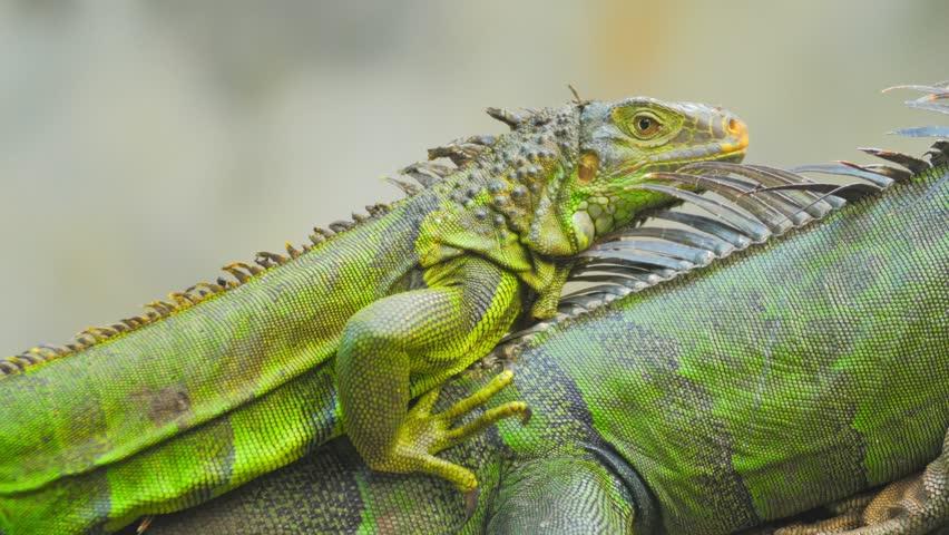Tropical reptilian animal green iguana profile view