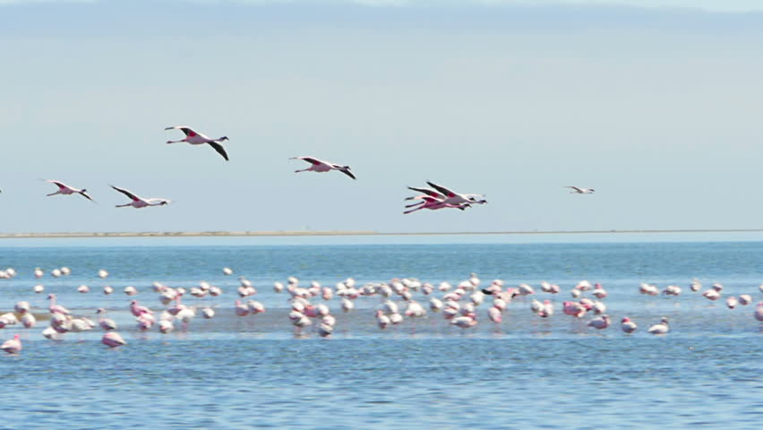 flamingos flying over the sea and landing on the water slow motion tracking shot walvis bay namibia - HD stock footage clip