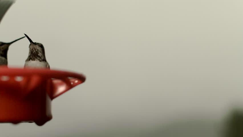 humming birds feeding - HD stock footage clip