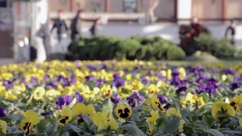 In a town, the City Hall has planted flowers in flower beds. To give a nice city, chose yellow and purple pansies. Wind blows and moves fragile pansies.  The ancients believed pansy has magical powers | Shutterstock HD Video #7700992