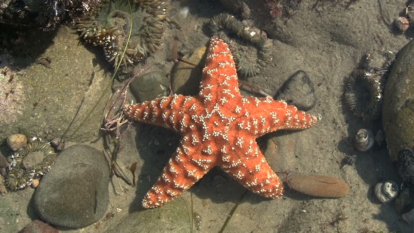 Orange Starfish In Pacific Tide Pool - HD stock video clip