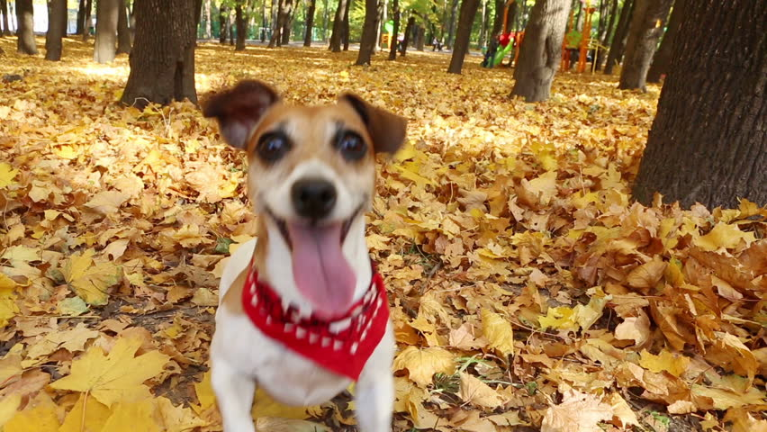 Smart active dog running in autumn park. Playing and fooling around. Video footage - HD stock footage clip