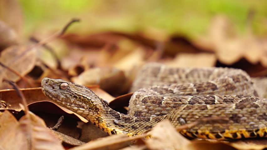 Slow motion view of Brazilian Jararaca snake / Bothrops jararaca, very dangerous
