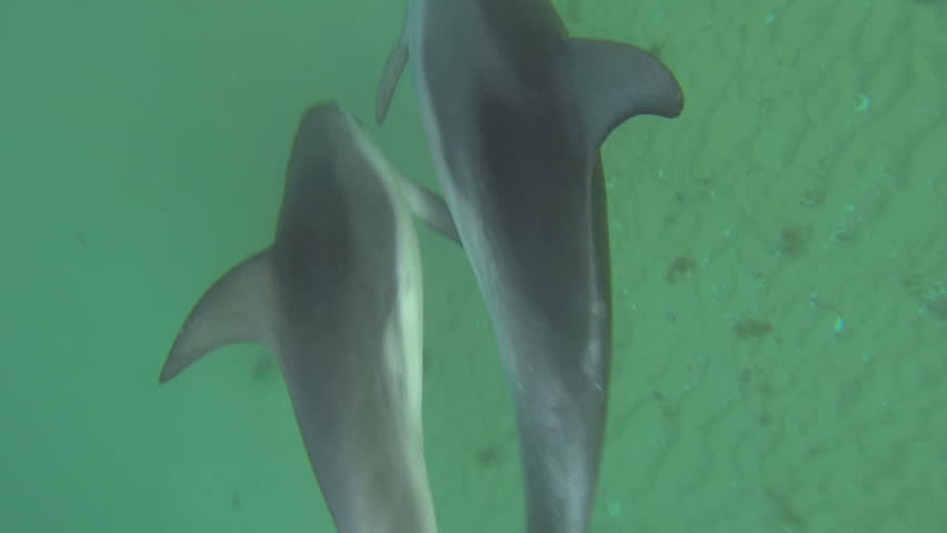 Swimming with Burrunan Dolphins. HD