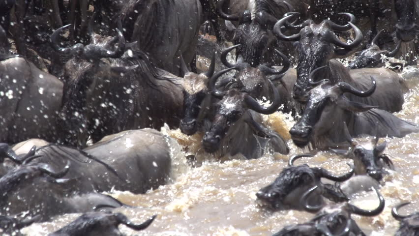 TANZANIA - Sept 2012: wildebeest jumping in river slo-mo close up shot