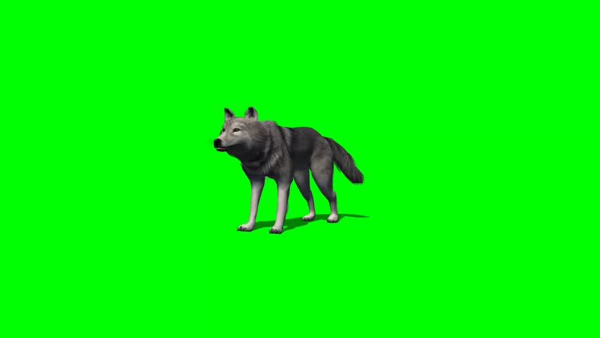 Wolf eat - with and without shadow - green screen | Shutterstock HD Video #7777816