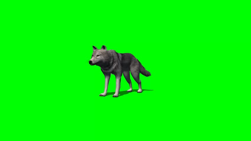 Wolf stands and looks around - 4 different views - with shadow - green screen | Shutterstock HD Video #7777825