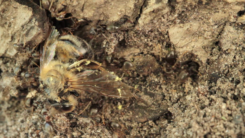 group of ants attacked the bee  - HD stock video clip