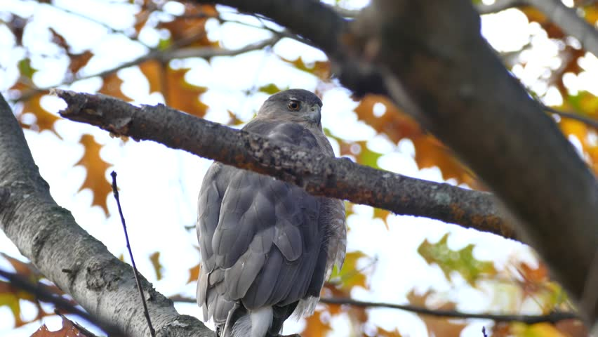 Header of Accipiter cooperii