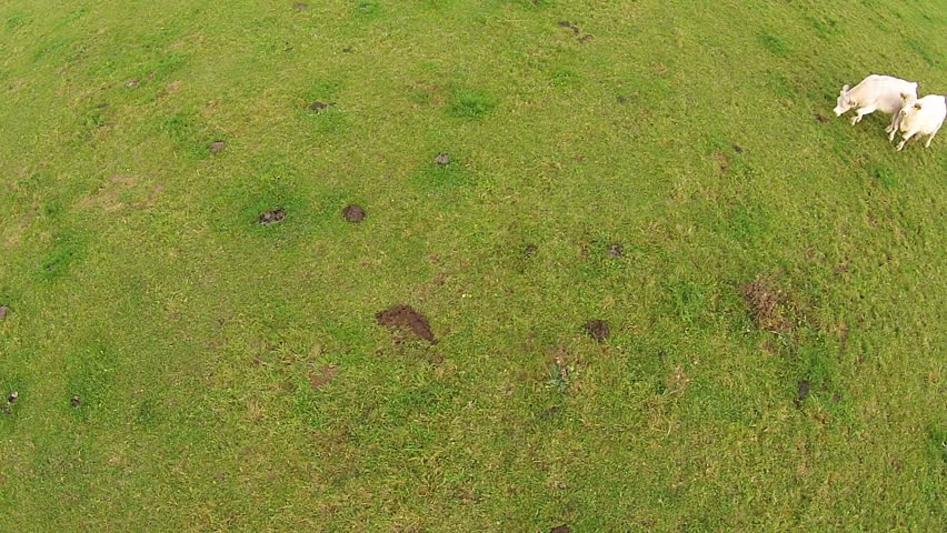 Low aerial view of young cows grazing and running on a pasture - HD stock footage clip