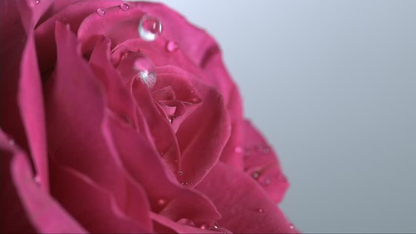 Water drops on a pink rose, shot with high speed camera Weisscam HS-2