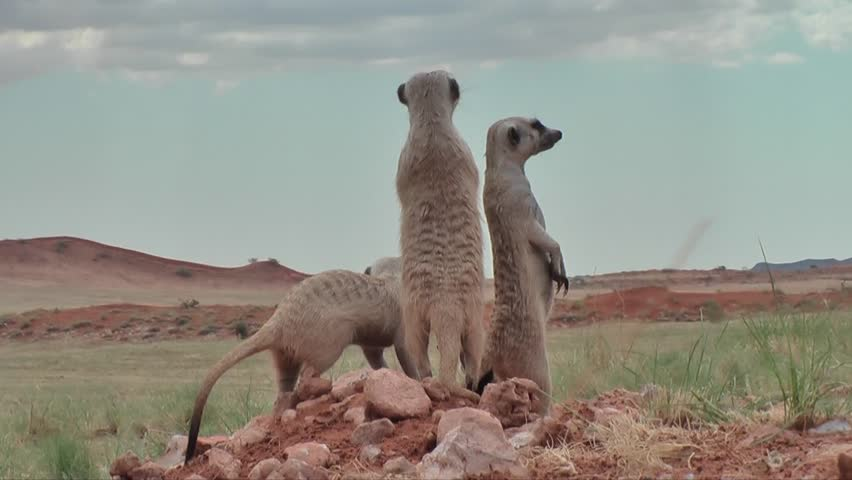 Group of suricates with babies on outlook, nervous looking around | Shutterstock HD Video #7915102