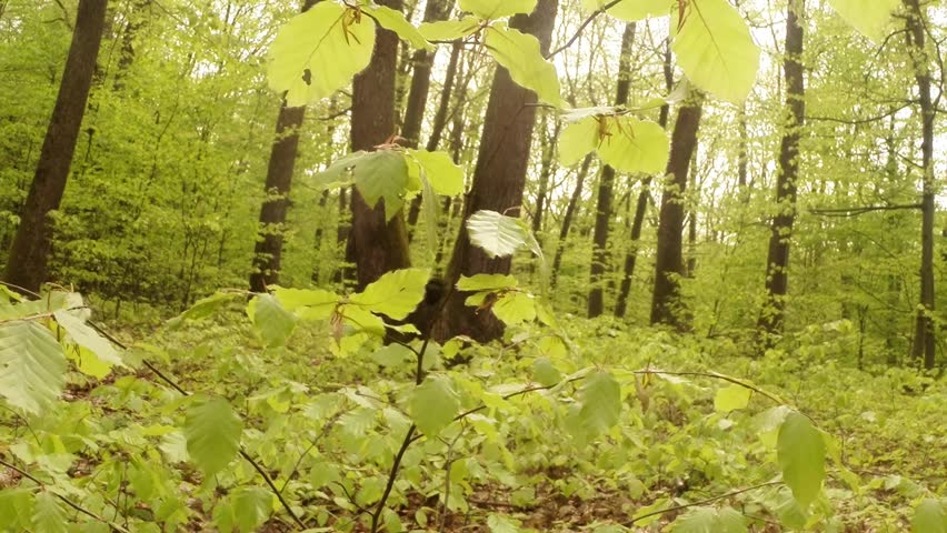 young sapling beech surrounded by large trees and shrubs flutters in the wind