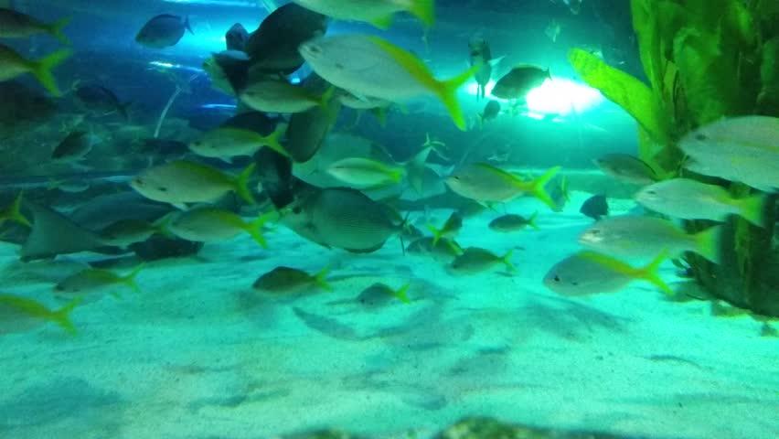 The group of Big eye snapper (Lutjanus) under sea with 4K resolution | Shutterstock HD Video #7959769