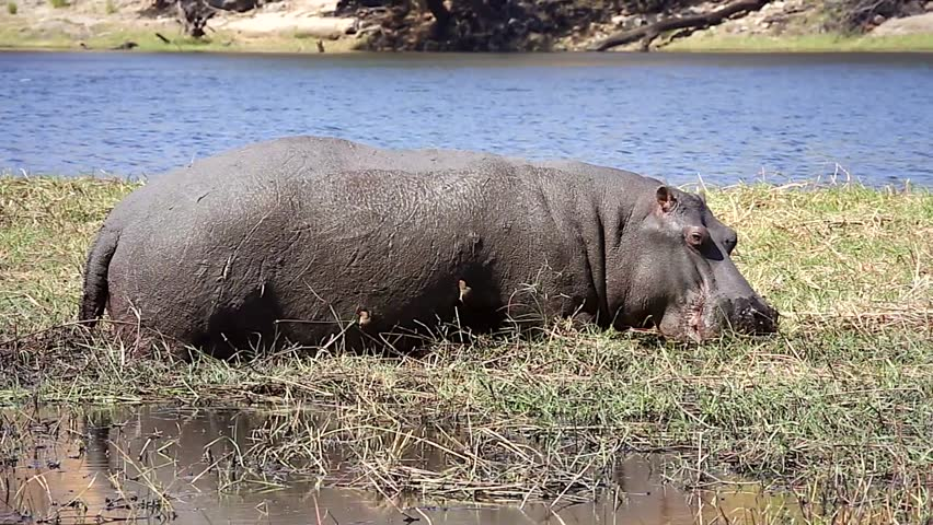 oxpecker and hippo relationship trust