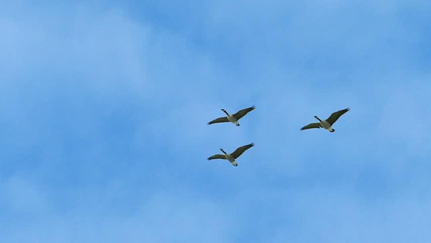 Graceful Flock of Geese Flying in Slow Motion | Shutterstock HD Video #8002978