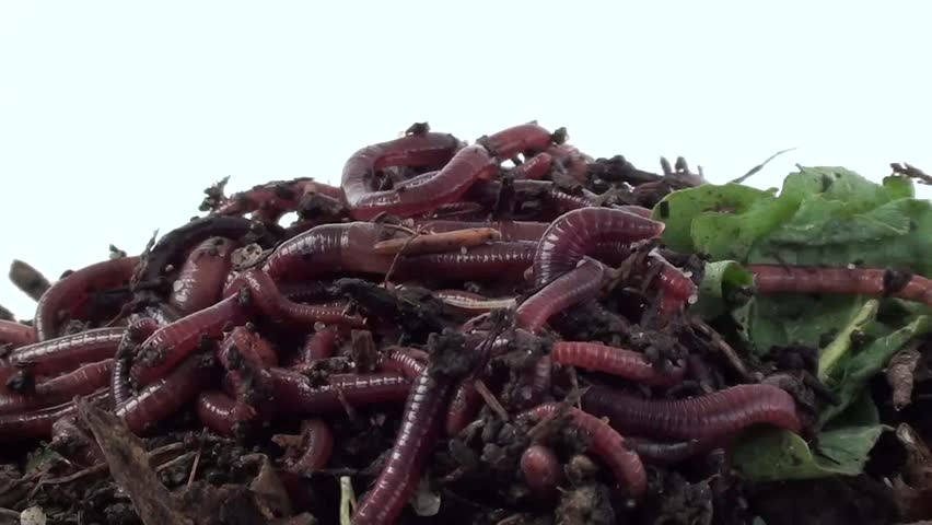 Ball of redworms (Eisenia fetida) on the compost pile. Visible early developmental stages of worms and woodlice. - HD stock footage clip
