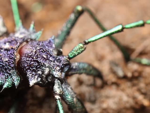 Large longhorn beetle (Cerambycidae) - SD stock footage clip