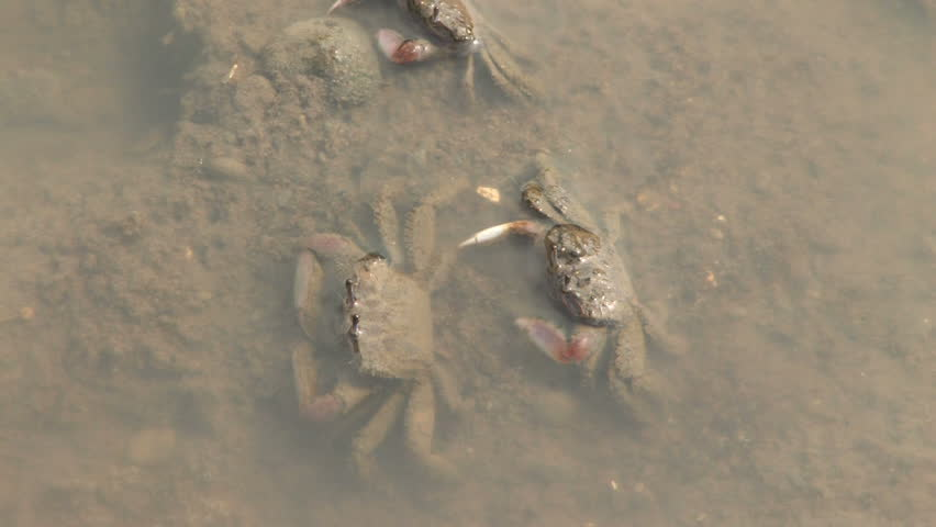 Fiddler Crabs Fighting in Marsh. - HD stock footage clip